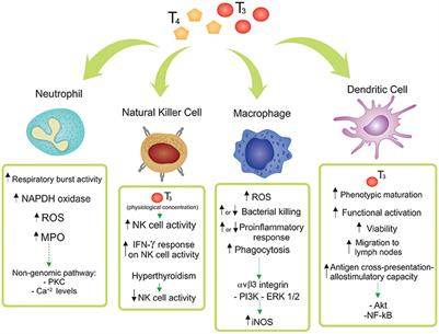 Frontiers Thyroid Hormone Action On Innate Immunity Endocrinology