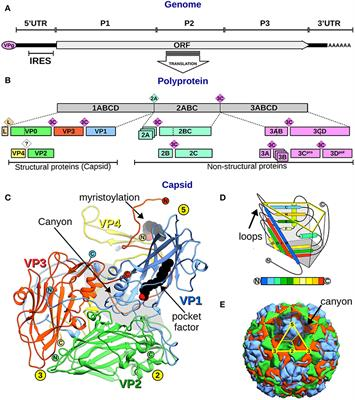 Frontiers Evolutionary And Structural Overview Of Human Picornavirus Capsid Antibody Evasion Cellular And Infection Microbiology