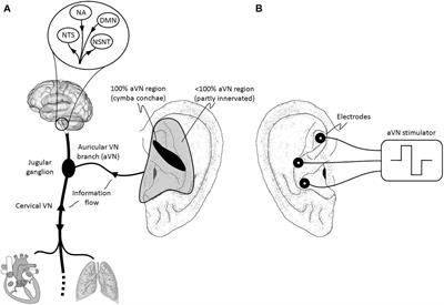 Frontiers | Current Directions in the Auricular Vagus ... on