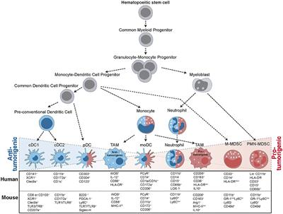 Allies or Enemies-The Multifaceted Role of Myeloid Cells in the Tumor Microenvironment