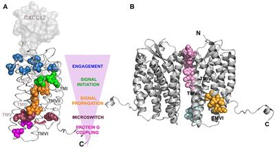 Frontiers | The Role of the CXCL12/CXCR4/ACKR3 Axis in