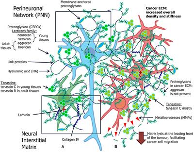 Frontiers | The Extracellular Matrix and Biocompatible Materials in Glioblastoma Treatment | Bioengineering and Biotechnology