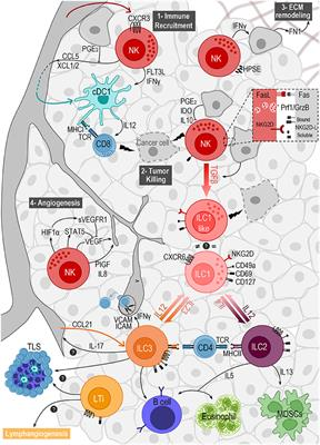 The Interplay Between Innate Lymphoid Cells and the Tumor Microenvironment