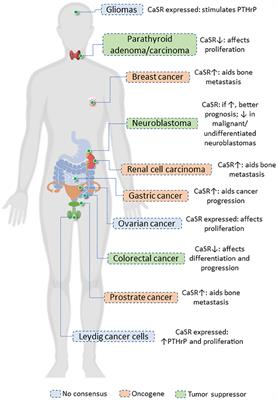 Frontiers The Casr In Pathogenesis Of Breast Cancer A New Target For Early Stage Bone Metastases Oncology