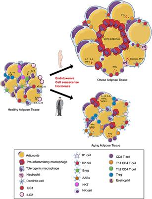 foto de Frontiers | The Immune Landscape of Visceral Adipose Tissue During ...