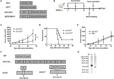 Recombinant KRAS G12D Protein Vaccines Elicit Significant Anti-Tumor Effects in Mouse CT26 Tumor Models