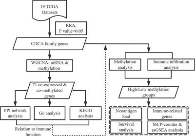 Comprehensive Analysis of CDCAs Methylation and Immune Infiltrates in Hepatocellular Carcinoma