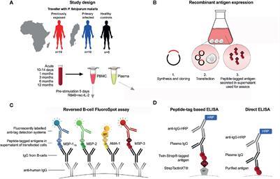 Memory B-Cell Responses Against Merozoite Antigens ... - Frontiers