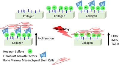 Frontiers in Bioengineering and Biotechnology | Stem Cell