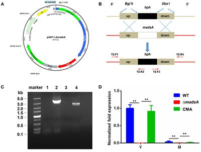 Frontiers | MADS-Box Transcription Factor MadsA Regulates