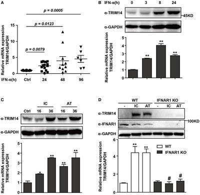 Frontiers | Identification of TRIM14 as a Type I IFN-Stimulated Gene