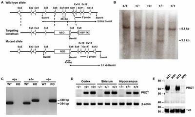 Frontiers | Inactivation of the Mouse L-Proline Transporter