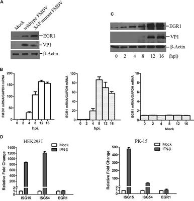 Frontiers | Early Growth Response Gene-1 Suppresses Foot-and