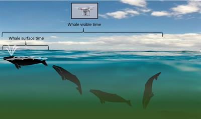 Drone Up Quantifying Whale Behavior From A New Perspective Improves Observational Capacity