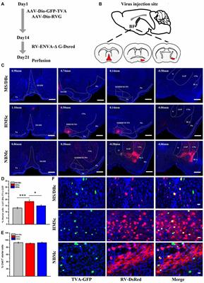 Frontiers | Different Subgroups of Cholinergic Neurons in
