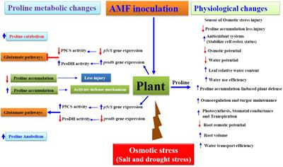 Frontiers | Proline Accumulation Influenced by Osmotic Stress in