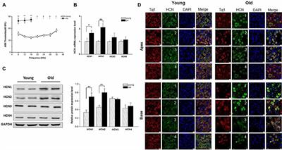 Frontiers | Age-Dependent Up-Regulation of HCN Channels in