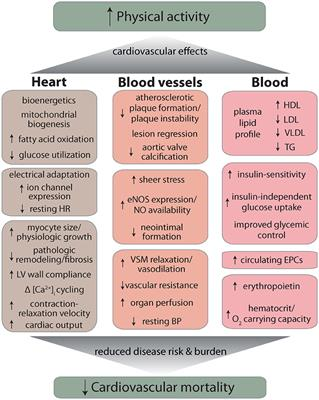 Frontiers | Cardiovascular Effects and Benefits of Exercise