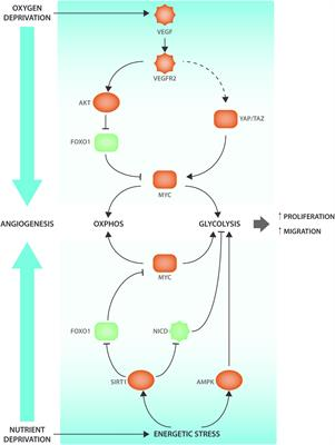 Frontiers | The Warburg Effect in Endothelial Cells and its