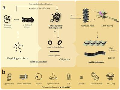 Frontiers | New Perspectives on Roles of Alpha-Synuclein in