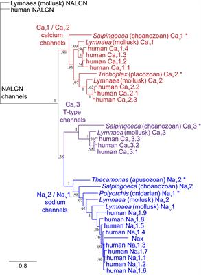 frontiers | eukaryotic voltage-gated sodium channels: on their origins,  asymmetries, losses, diversification and adaptations | physiology