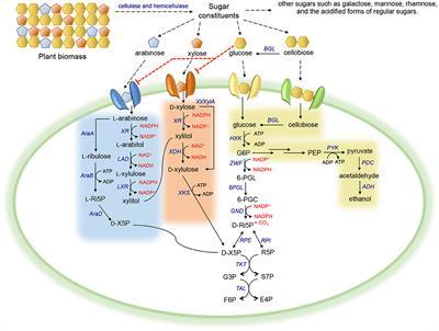 Frontiers   Enhancing the Co-utilization of Biomass-Derived