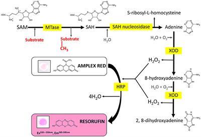 Frontiers | Hydrogen Peroxide-Based Fluorometric Assay for