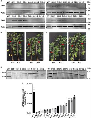 Frontiers | Modification of Cassava Root Starch