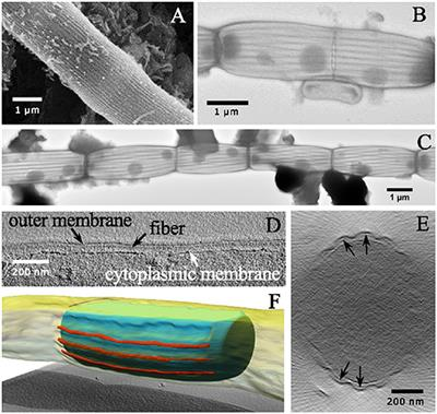 Frontiers | The Cell Envelope Structure of Cable Bacteria