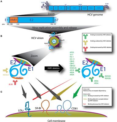 Frontiers   Hypervariable Region 1 in Envelope Protein 2 of