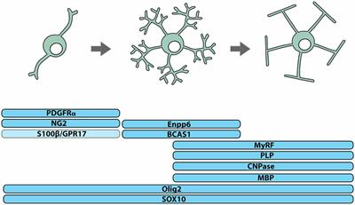 Frontiers | How Do Cells of the Oligodendrocyte Lineage