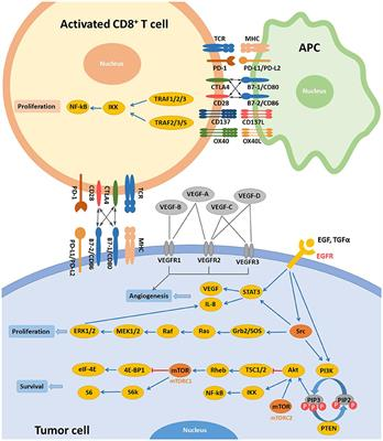 Frontiers | Progresses and Perspectives of Anti-PD-1/PD-L1