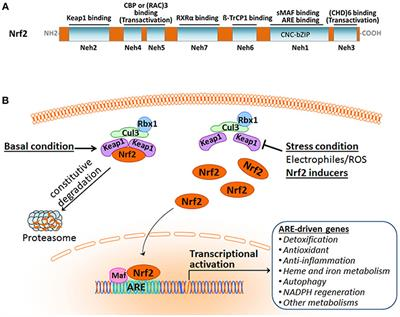 Frontiers | Critical Role of Nrf2 in Experimental Ischemic