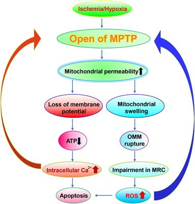 Frontiers   Mitochondrial Dysfunction in Neural Injury