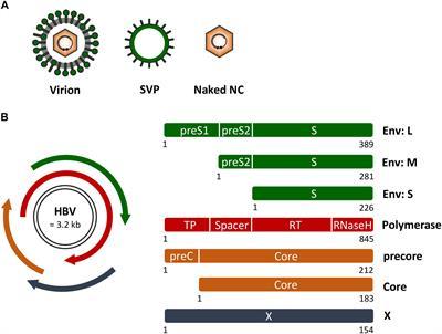 Frontiers Host Cell Rab GTPases In Hepatitis B Virus