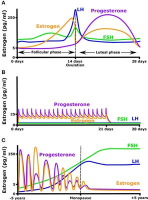 Frontiers | Effect of Estrogen on Musculoskeletal