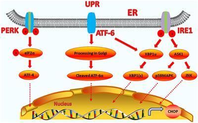 Frontiers | The C/EBP Homologous Protein (CHOP