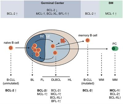 Frontiers | Role and Regulation of Pro-survival BCL-2