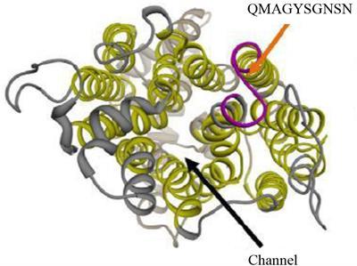 Frontiers   Candida albicans Factor H Binding Molecule Hgt1p – A Low
