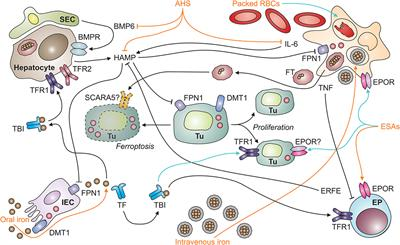 Frontiers | Iron in the Tumor Microenvironment—Connecting the Dots ...