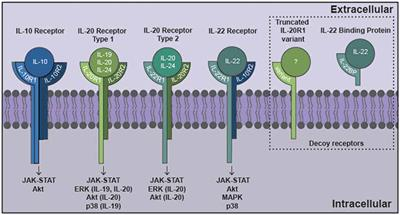 Frontiers | The Interleukin-10 Family of Cytokines and Their