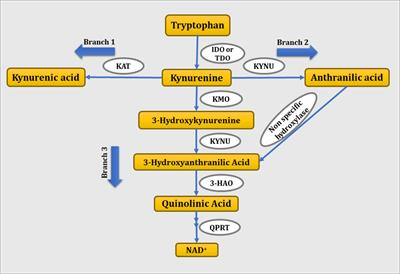 Frontiers   Quinolinic Acid and Nuclear Factor Erythroid 2
