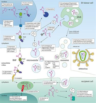 Frontiers In Immunology Cytokines And Soluble Mediators In Immunity