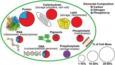 Frontiers | The Macromolecular Basis of Phytoplankton C:N:P