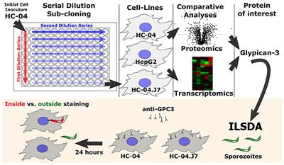 Frontiers   The Selection of a Hepatocyte Cell Line