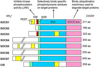 Frontiers | SOCS and Herpesviruses, With Emphasis on
