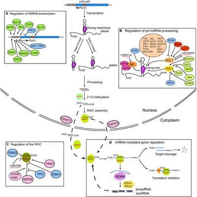 Frontiers | Plant microRNAs: Biogenesis, Homeostasis, and ... on