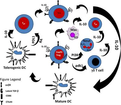 Frontiers | The Pivotal Role of Regulatory T Cells in the