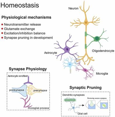Frontiers   Glial Contribution to Excitatory and Inhibitory