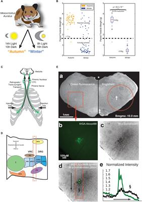 Frontiers | Medullary Respiratory Circuit Is Reorganized by
